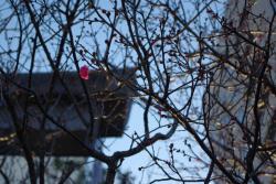 静岡天満宮の紅梅